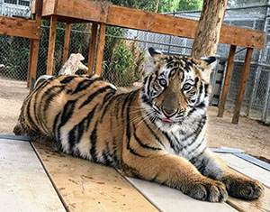 photo of tiger at America's Teaching Zoo